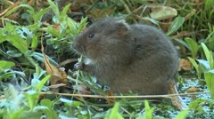 Water Vole (Arvicola amphibius) Slow Motion. Side view sitting in water eating Stock Footage