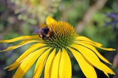 Bumblebee On Yellow Daisy - stock photo