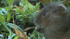 Water Vole (Arvicola amphibius) Slow Motion. head and shoulders eating Stock Footage