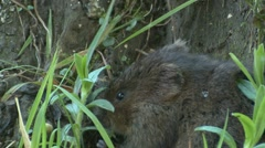 Water Vole (Arvicola amphibius) Slow Motion Eating next to earth bank Stock Footage