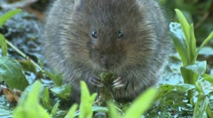 Water Vole (Arvicola amphibius) Slow Motion. Eating with handling behavior Stock Footage