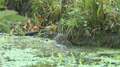 Water Vole (Arvicola amphibius) Slow Motion swimming and eating Stock Footage