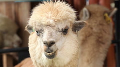 Alpaca looking to camera and chewing,closeup head Stock Footage