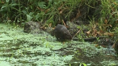 Water Vole (Arvicola amphibius) Slow Motion. Moving along river edge/climbing Stock Footage