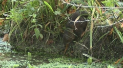 Water Vole (Arvicola amphibius) Slow Motion. climbing down bank Stock Footage
