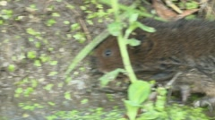 Water Vole (Arvicola amphibius) Slow Motion. Close up moving waters edge Stock Footage