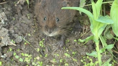 Water Vole (Arvicola amphibius) stationary facing down bank sniffing Stock Footage
