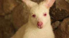 Kangaroo or Wallaby, white color with red eyes Stock Footage
