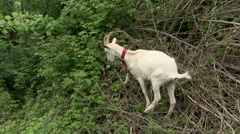 Goat eating on a bush. Stock Footage