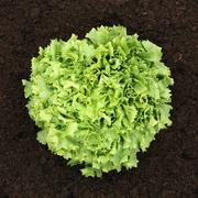 reifer salat im gemüse feld von oben - stock photo