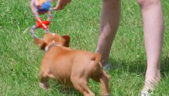 Child playing with american staffordshire terrier puppy dog on grass Stock Footage