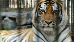 Portrait of the Amur tiger Stock Footage