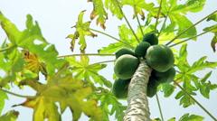 Panning- Papaya tree Stock Footage