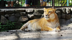 Portrait liger resting in zoo cage Stock Footage