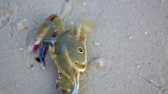 Blue crab at beach - stock footage
