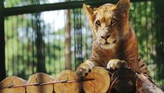 Portrait of cute baby liger resting Stock Footage