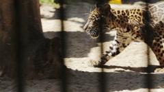 Jaguar cub sneaks its prey Stock Footage