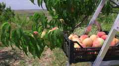 Stock Video Footage of Crate of ripe peaches in orchard during harvest