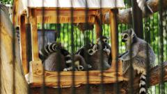 Group lemur sitting in a zoo Stock Footage