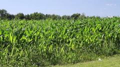 Cornfield on a windy day Stock Footage