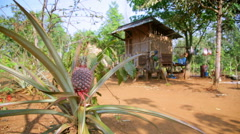 Pineapple fruit plantation in village house, laos Stock Footage