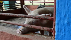 A Pig Bites and Licks the Wall of its Pen, HD, 1080 Stock Footage