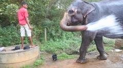 Elephant spraying itself. These elephants retire to working with tourists. Stock Footage
