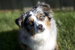Australian Shepherd with Blue Eye Stock Photos