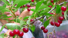 Stock Video Footage of Senior farmer reaping the crop of cherry in orchard