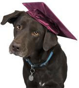 Dog with mortarboard Stock Photos