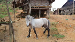 Horse at indigenous native tribal Akha tribe village, Pongsali, Laos Stock Footage