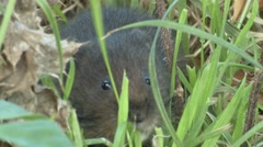 Water Vole (Arvicola amphibius) Slow Motion. Eating close up through grass Stock Footage