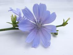 cichorium - stock photo
