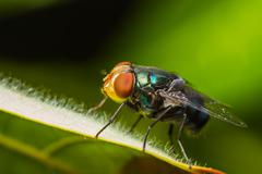 housefly resting on green leaf - stock photo