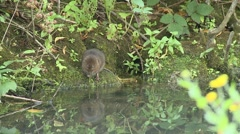 Water Vole (Arvicola amphibius) Slow Motion. swims from bank Stock Footage