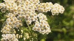 Flower Calystegia sepium, yarrow Stock Footage