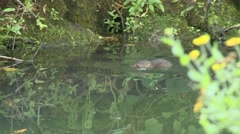 Water Vole (Arvicola amphibius) Slow Motion. swimming and finding food Stock Footage