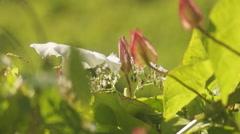 Flower Calystegia sepium,  valerian Stock Footage