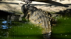 Crocodile or alligator out of the river Stock Footage