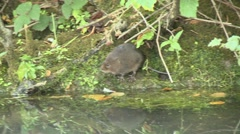 Water Vole (Arvicola amphibius) Slow Motion. Enters water, swims then exits Stock Footage