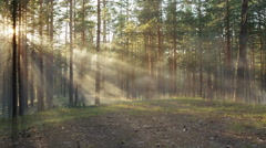 Sunset in pine forest with light rays, dolly movement Stock Footage