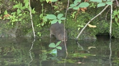 Water Vole (Arvicola amphibius) slow motion. Pick weed from stream, eats on bank Stock Footage