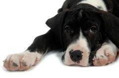 Great dane puppy resting Stock Photos