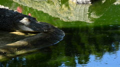 Crocodile or alligator sunbathing Stock Footage