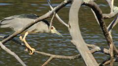 Black crowned Night Heron / Bihoreau gris / Nycticorax nycticorax 01 Stock Footage