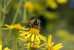 macro of bee on yellow flower - stock photo