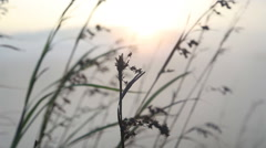 View of long grass in the wind at sunrise on the Little Adam's Peak in Ella. Stock Footage