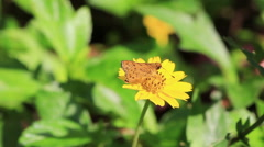 HD Macro, Small Butterfly feeding flower in nature Stock Footage