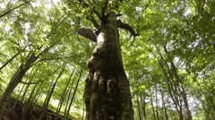 Old beech growing on a creek in the mountains of Europen green moss Stock Footage