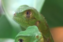 Baby Iguanas in the wild Stock Footage